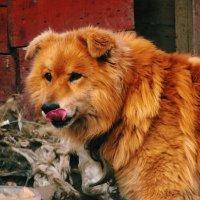 Рыжий пёс :: Ольга Перфильева
