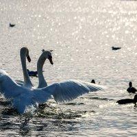 Танец лебедей :: Майя Морозова