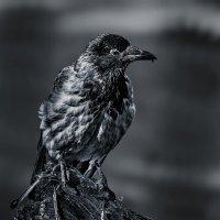 Ворона :: Nn semonov_nn