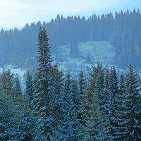 голубые ели :: леонид логинов