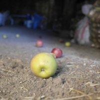 Яблоки по осени считают :: saslanbek isaev