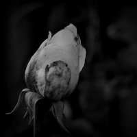 Роза :: Evgenia Glazkova