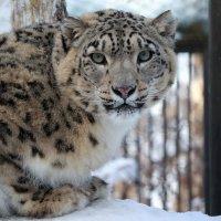 Снежный барс :: Владимир Шадрин