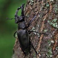 Зарисовки летние. Немного про жука, а может про оленя... :: Александр Резуненко