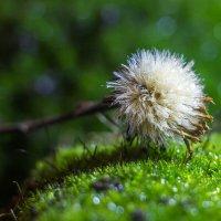 отцвевший цветок сентябринки :: Дина Горбачева
