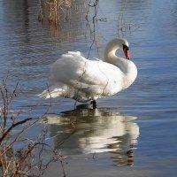 Белый лебедь :: Маргарита Батырева