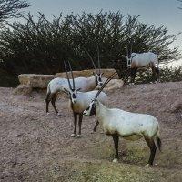 Длиннорогая газель, житель пустыни :: Gennadiy Karasev