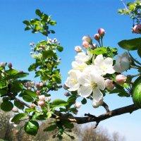 """""""Яблони в цвету, весны творенье..."""" :: Galaelina ***"""