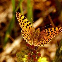 ещё про бабочек 2 :: Александр Прокудин