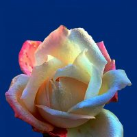 Роза по фото Алла ZALLA :: Владимир Хатмулин