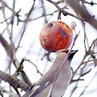 Свиристель с яблочком! :: Татьяна Помогалова