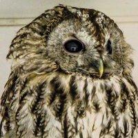 Прекрасное лицо совы: в большом глазу птицы я обнаружил свой силуэт. :: Александр Куканов (Лотошинский)