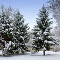 Ели и снег. :: Владимир M