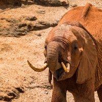 Портрет слона :: Ольга Петруша