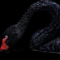 vit5 чёрный лебедь :: Vitaly Faiv