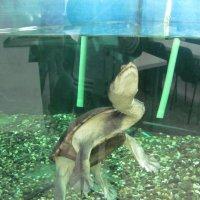 черепаха :: Зинаида