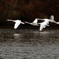 Над водой летели лебеди.... :: Alexander Andronik
