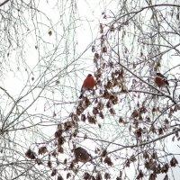 Украшение зимы :: Татьяна Симонова