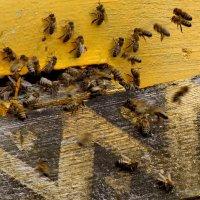 Пчёлки :: Светлана