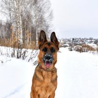 Немецкая Овчарка :: Наталия Кожанова