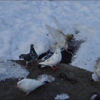 Из жизни голубей :: Нина Корешкова
