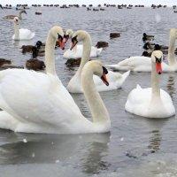 Зимовка лебедей! :: Ирина Олехнович