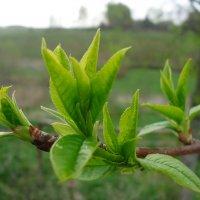 Молодые весенние листочки дерева :: Андрей Гуров