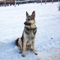 "Пёс ""Север"". :: Владимир Безбородов"