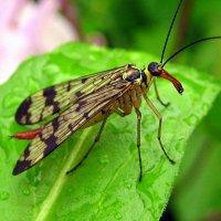 Скорпионница обыкновенная. :: оля san-alondra