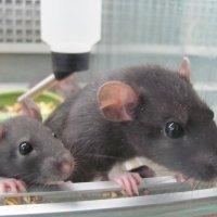 крысы :: Зинаида