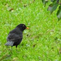 Самец чёрного дрозда :: Natalia Harries