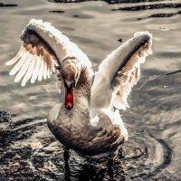 Лебедь........... :: Александр Селезнев