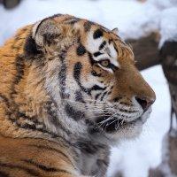 Амурский тигр :: Владимир Шадрин