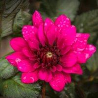 « Цветы, холодные от рос И близкой осени дыханья, …» :: Андрей Нибылица