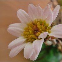 Цветочек хризантемы :: Нина Корешкова
