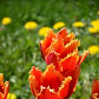 Тюльпаны :: Ольга Беляева
