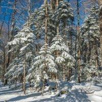 Зимний лес... :: Аnatoly Gaponenko