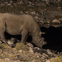 белый носорог идёт попить :: Георгий А