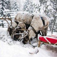 Северные олени. :: Геннадий Оробей