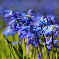 Очаровательна пролеска голубая! :: Татьянка *