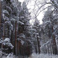 Заснеженный лес :: Татьяна Котельникова