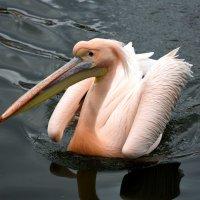 Розовый пеликан :: Катерина Клаура