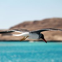 Чайка :: Andrey Semushin