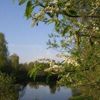 Черемуха над речкой Нара :: Анна Воробьева