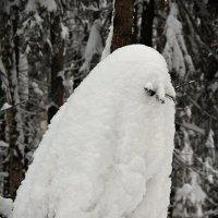 "Вот такая ""полярная сова"":-) :: Лариса Валентинова"