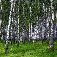 В берёзовом лесу. :: оля san-alondra