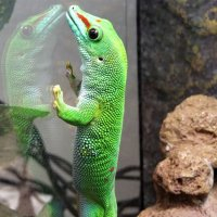 Мадагаскарский геккон :: Маргарита