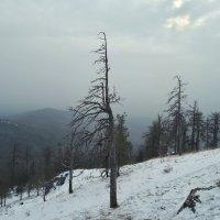 Засохшая сосна на склоне горы Сугомак. :: Сергей Адигамов