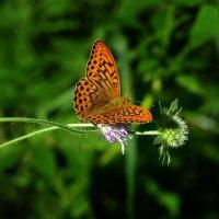 Сборщица нектара :: Oleg S