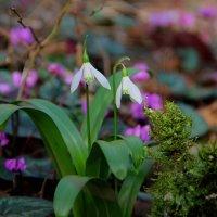 февральские цветочки в лесах Сочи :: Антонина Владимировна Завальнюк